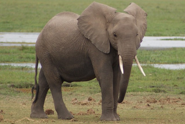 African Elephant - Amboseli National Park, Kenya.  30.07.2008