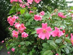rosa 㗠centifolia(0.0), floribunda(0.0), chinese hibiscus(0.0), rosa rugosa(0.0), rosa wichuraiana(1.0), annual plant(1.0), shrub(1.0), garden roses(1.0), flower(1.0), rosa gallica(1.0), rosa rubiginosa(1.0), rosa acicularis(1.0), rosa chinensis(1.0),
