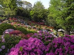 annual plant, botanical garden, shrub, flower, garden, tree, plant, flora, azalea,