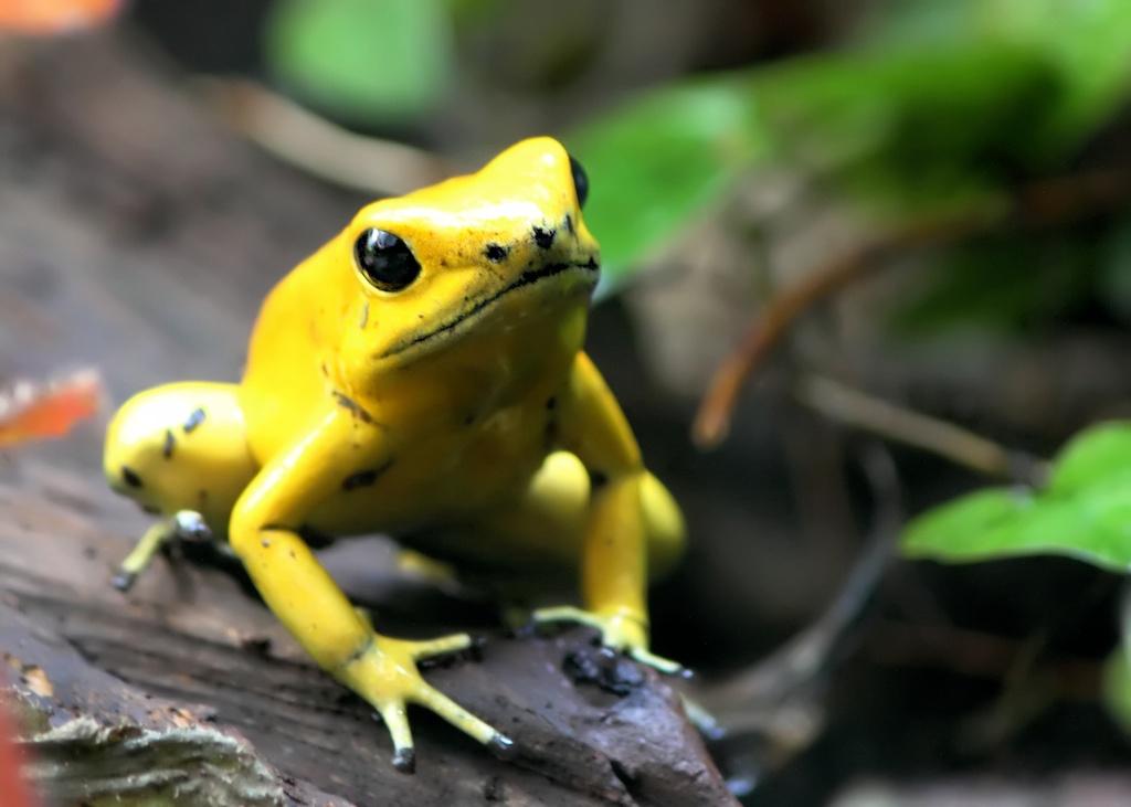 T2i - Yellow frog
