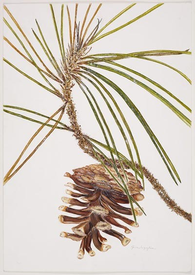 "Gina Ingoglia, Pinus nigra, 2006.  Watercolor on Strathmore 140# cold press, 22"" × 16"". © Copyright Brooklyn Botanic Garden"