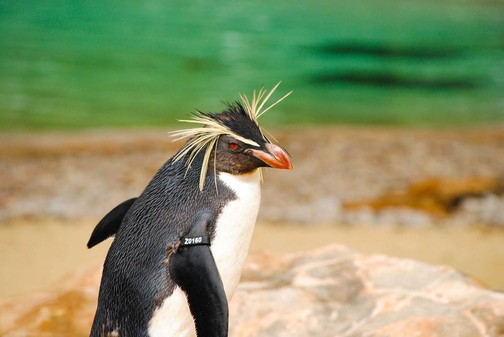 Великий пінгвін - все про тварин