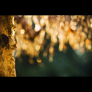 birch tree bokeh.