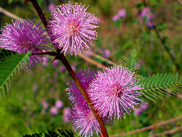mimosa pudica sensitive shy plant flickr photo sharing. Black Bedroom Furniture Sets. Home Design Ideas