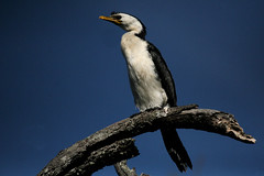 Little Pied Cormorant - Photo (c) Marj Kibby, some rights reserved (CC BY-NC)