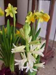 flower, plant, floristry, hyacinth,