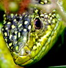 "<a href=""http://www.flickr.com/photos/pierre_pouliquin/3442538031/"">Photo of Lacerta viridis by Pierre  Pouliquin</a>"