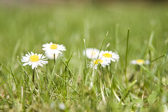 dandelion(0.0), close-up(0.0), lawn(0.0), prairie(1.0), flower(1.0), field(1.0), grass(1.0), plant(1.0), nature(1.0), chamaemelum nobile(1.0), daisy(1.0), macro photography(1.0), wildflower(1.0), flora(1.0), green(1.0), oxeye daisy(1.0), meadow(1.0), daisy(1.0), grassland(1.0),