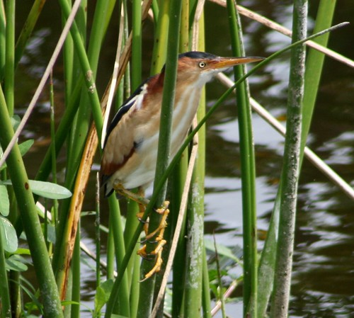 Least Bittern comes out to play