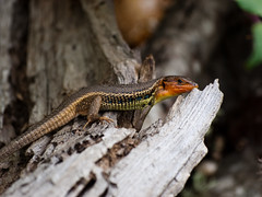 smooth newt(0.0), green lizard(0.0), european fire salamander(0.0), salamandra(0.0), animal(1.0), newt(1.0), reptile(1.0), nature(1.0), lizard(1.0), macro photography(1.0), gecko(1.0), fauna(1.0), close-up(1.0), lacerta(1.0), lacertidae(1.0), dactyloidae(1.0), scaled reptile(1.0), wildlife(1.0),