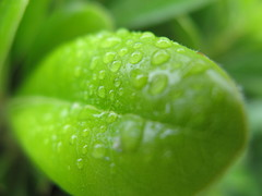 citrus(0.0), flower(0.0), food(0.0), plant stem(0.0), lime(0.0), annual plant(1.0), dew(1.0), drop(1.0), leaf(1.0), plant(1.0), macro photography(1.0), flora(1.0), green(1.0), produce(1.0), moisture(1.0), close-up(1.0),
