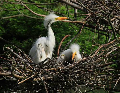 great egret chick pair woody