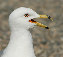 albatross(0.0), animal(1.0), charadriiformes(1.0), fauna(1.0), close-up(1.0), great black-backed gull(1.0), european herring gull(1.0), shorebird(1.0), beak(1.0), bird(1.0), wildlife(1.0),