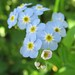 Water Forget-me-not - Photo (c) beautifulcataya, some rights reserved (CC BY-NC-ND)