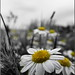 For all my dear friends(Chamomile) by B.Ardabili