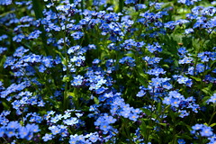 annual plant, flower, plant, herb, forget-me-not, meadow,