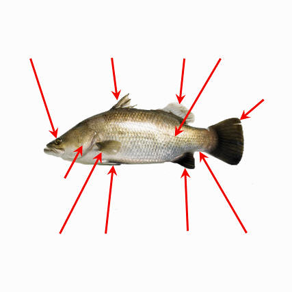 External anatomy fish