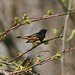 Small photo of American Redstart (Setophaga ruticilla)