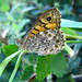Wall Brown - Photo (c) Ombrosoparacloucycle, some rights reserved (CC BY-NC-SA)
