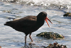 cinclidae(0.0), redshank(0.0), seaduck(0.0), ibis(0.0), animal(1.0), fauna(1.0), oystercatcher(1.0), shorebird(1.0), beak(1.0), bird(1.0), wildlife(1.0),