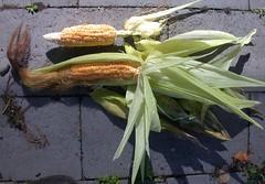 Corn-JollyRoger-8285