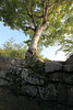 Photo:Tree from a stone wall / 木(き) By TANAKA Juuyoh (田中十洋)