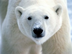 Snow on Snout, Polar Bear