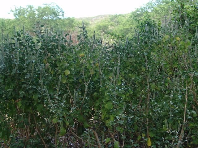 Header of Achyranthes splendens