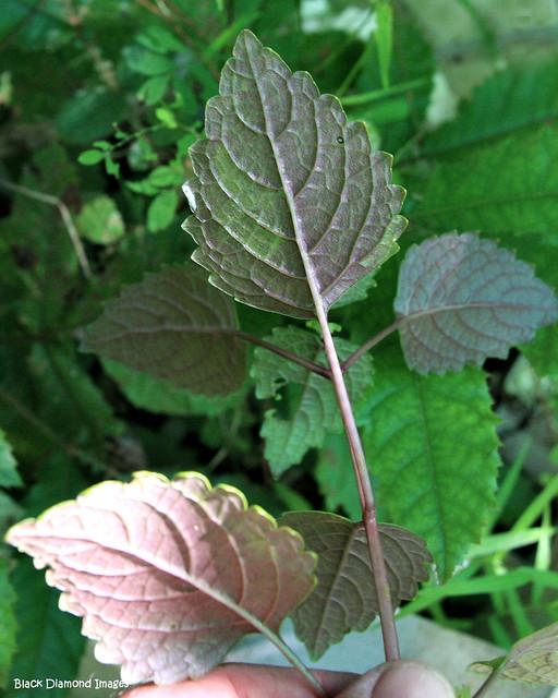 Plectranthus nitidus - Nightcap Plectranthus