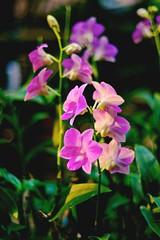 Deep Fuchsia Orchid