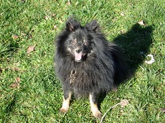 lapponian herder(0.0), eurasier(0.0), german spitz(0.0), schipperke(0.0), dog breed(1.0), animal(1.0), puppy(1.0), german spitz klein(1.0), dog(1.0), finnish lapphund(1.0), pet(1.0), mammal(1.0), keeshond(1.0), german spitz mittel(1.0), swedish lapphund(1.0), pomeranian(1.0),