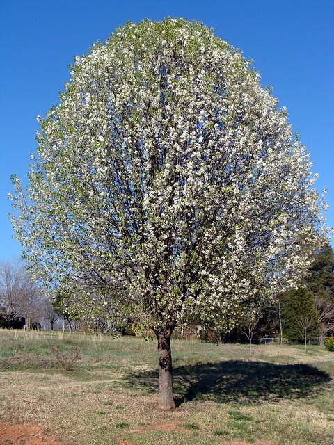 Bradford Pear Tree Flickr Photo Sharing