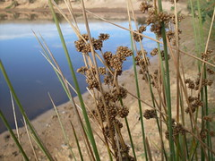 Rushes - Photo (c) John Tann, some rights reserved (CC BY)