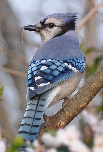Day 115 - Blue Jay by MissTessmacher