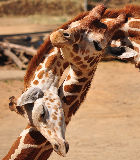 Giraffes In Love awww giraffe love | YA...