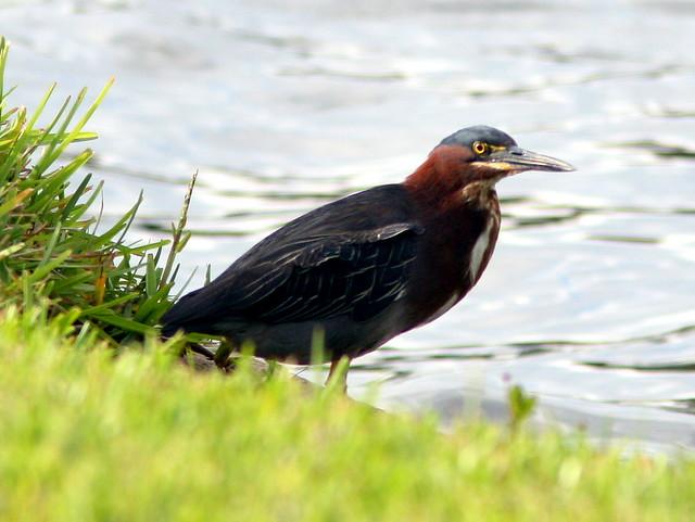 Green Heron 20090522