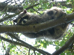 sloth(0.0), new world monkey(0.0), animal(1.0), raccoon(1.0), branch(1.0), mammal(1.0), fauna(1.0), wildlife(1.0),
