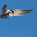 Forster's Tern Flight by Nick Chill Photography