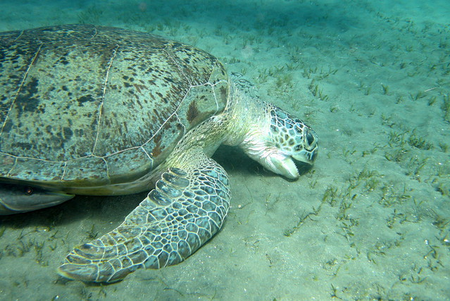 Green Sea Turtle feeding in Marsa Abu Dabbab Flickr - Photo Sharing!