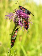 Burnet Moths