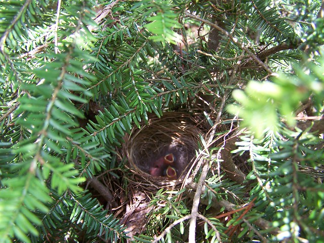 baby birds just hatched   Flickr - Photo Sharing!