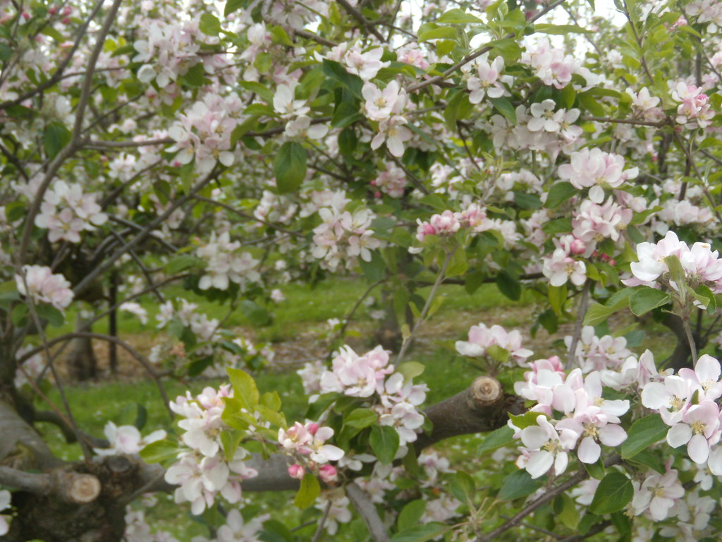 Apple blossom The path goes through apple orchards. Pluckley Circular