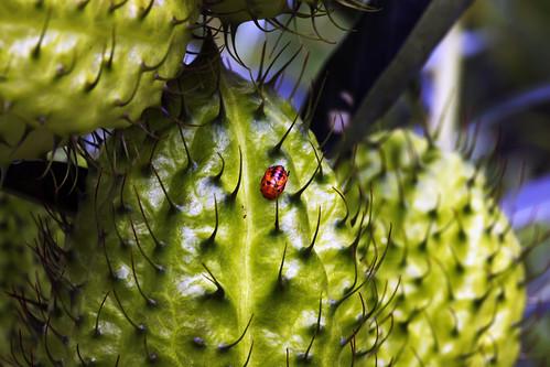 flower hawaii ladybug bigisland milkweed lantana puuanahulu canonef100mmf28macrousm bigislandcountryclub asclepiasfruticosa umsingalwesalukazi