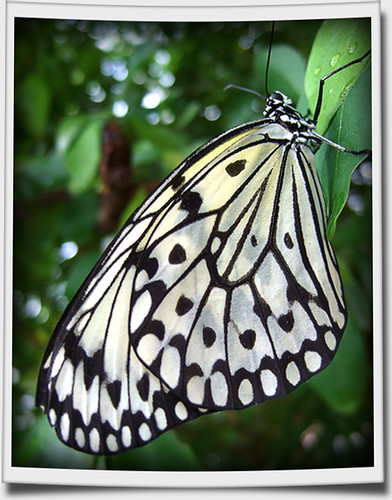 Black and white butterfly chattanooga now identified for White paper butterflies