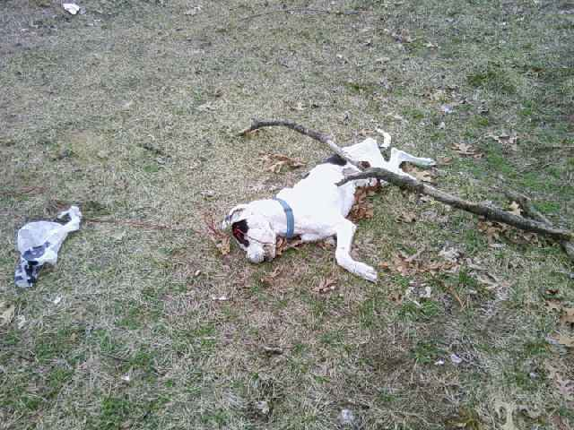 Dead Pit Bull There S A Few Explanations For This