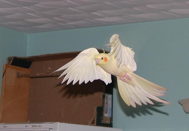 lutino cockatiel in flight