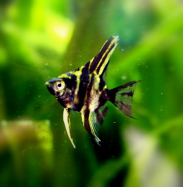 Photo for Freshwater angel fish