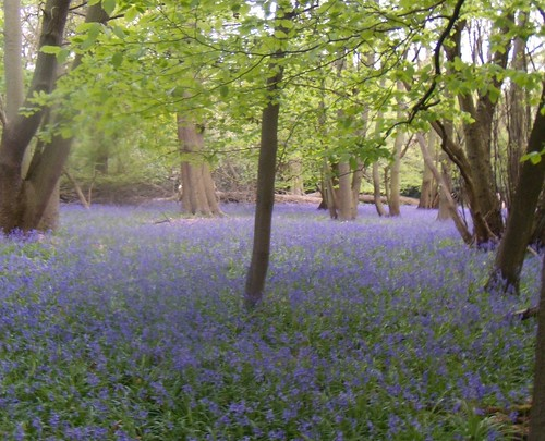Bluebell wood 3