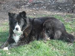 border collie(1.0), animal(1.0), dog(1.0), pet(1.0), karelian bear dog(1.0), wolfdog(1.0), carnivoran(1.0),