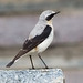 Northern Wheatear - Photo (c) Vitaliy Khustochka, some rights reserved (CC BY-NC)